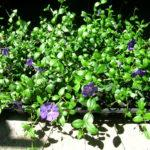 Groundcover, green leaves with lavender blue flowers