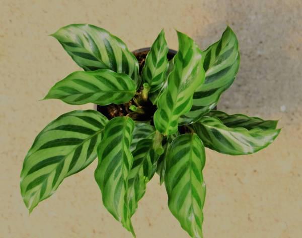 Glossy leaves with dark green chevron stripes