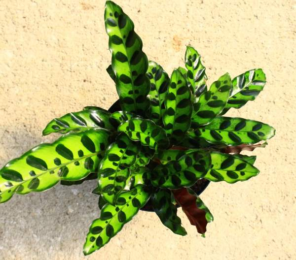 Calathea 'Lancifolia', sometimes called the rattlesnake plant, has glossy, elongated leaves covered in dark green spots.