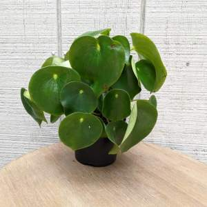 large rounded glossy leaves with downward points