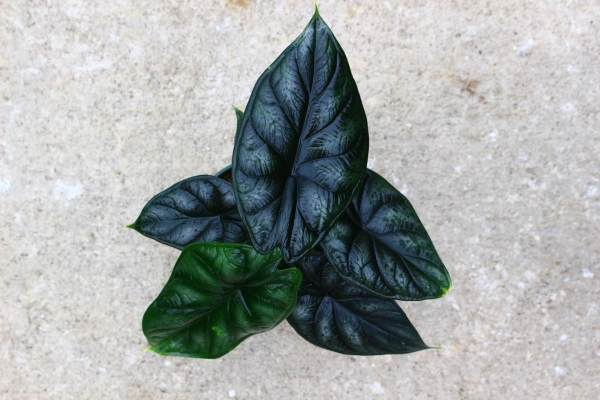 Alocasia 'Dragon Scale' has blackened leaves with a crumpled texture and deep veining. best of all, they shimmer in the sunlight, just like a dragon scale!