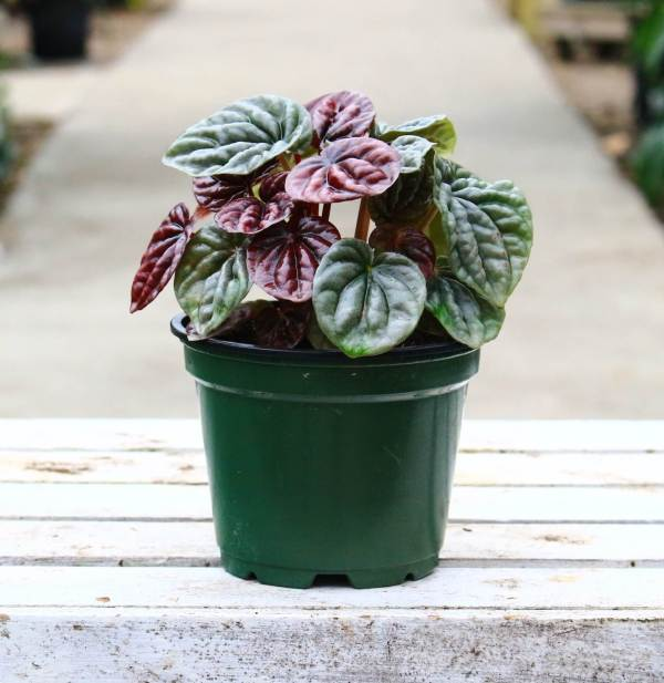 This peperomia has deep red rippled leaves and grows in a compact mound.