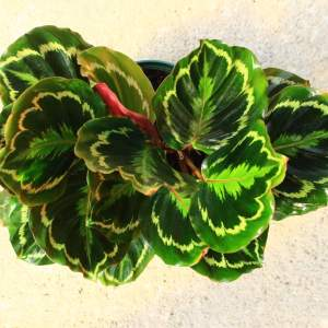 """Calathea 'medallion"""" has the look of painted brush strokes on each leaf in shades of light green and yellow in concentric circles."""