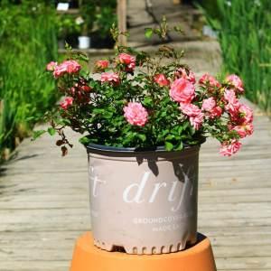 pink double flowering shrub