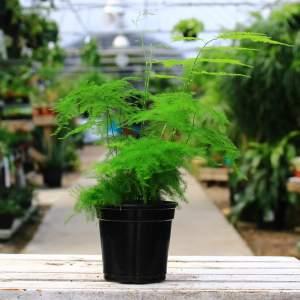 Airy, lightweight foliage