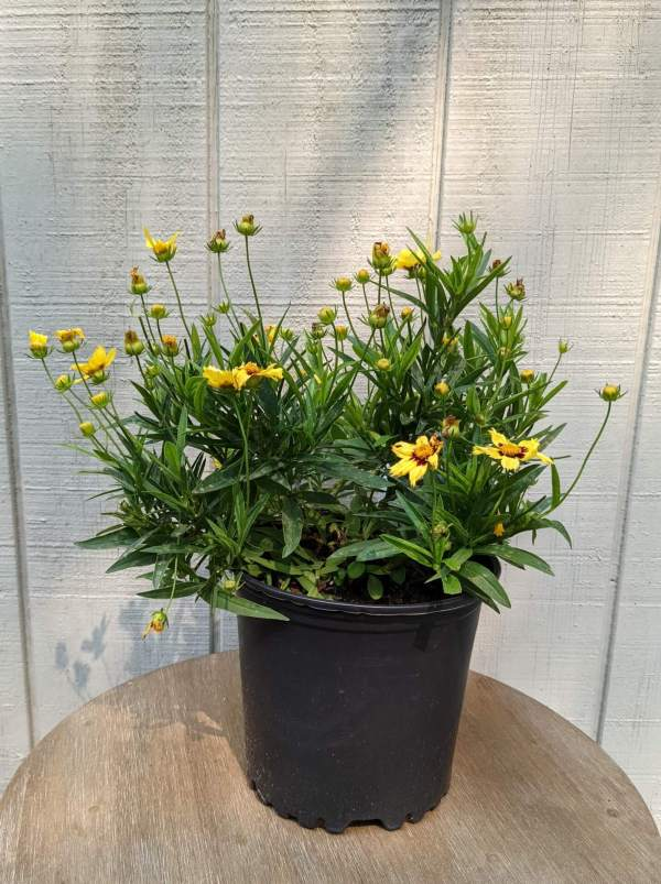 birght yellow flowers with deep red centers