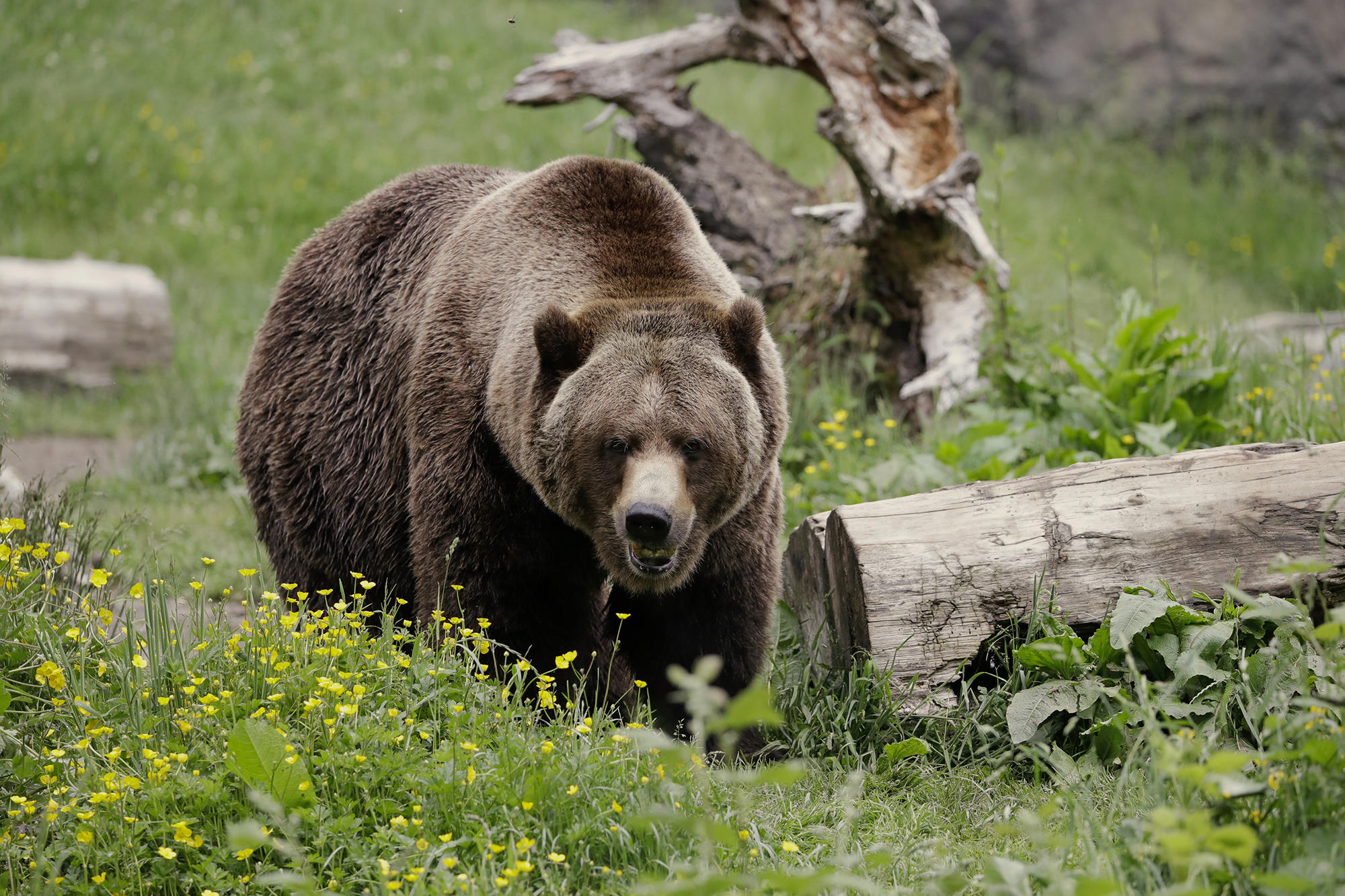 Trump Rejection Of Grizzly Plan Won T Deter Bear Advocates Crosscut
