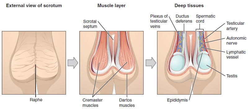 Cremaster Muscle And Its Functions
