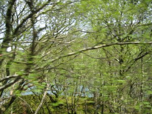 Welsh Forest from the narrow gauge rail