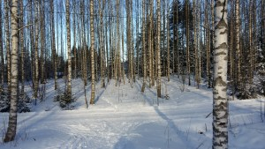 Winter forest of Birch trees in Finland