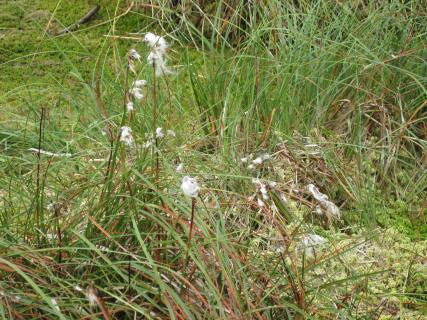 Broad-leaved cotton grass