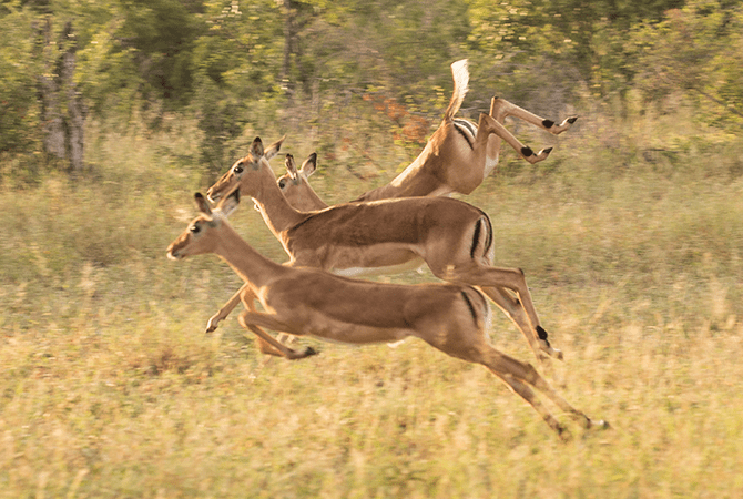 Competitive hopping.  Impala run and jump to show off and let predators know they are strong and difficult to catch.