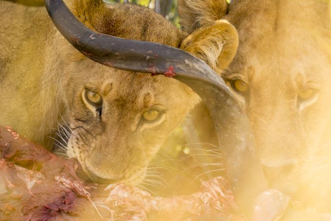 Lions feeding