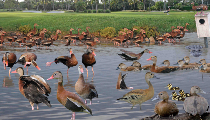 Black-bellied Whistling-Duck Dendrocygna autumnalis