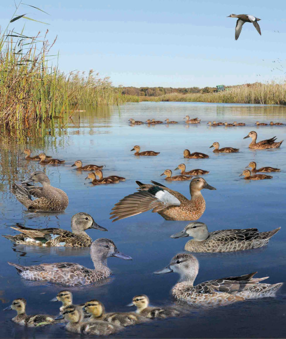 Blue-winged Teal Anas discors