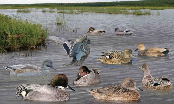 Falcated Duck Anas falcata