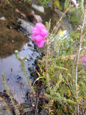 Cross leaved heath