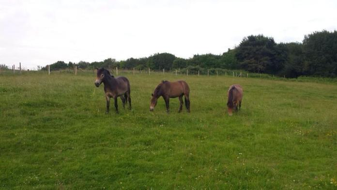 Exmoor Ponies at The Ghyll (Photo courtesy @bladesurch)
