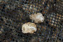 "The baby oysters, or ""spats,"" grew up in our oyster nursery--another way we support the Chesapeake Bay Foundation's Virginia Oyster Restoration Center."
