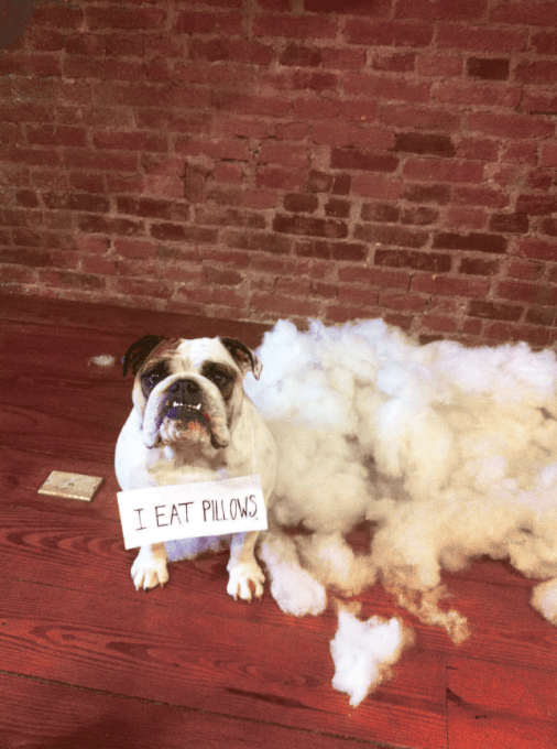 6 Dog Shaming Pictures You Wont Believe The Crown