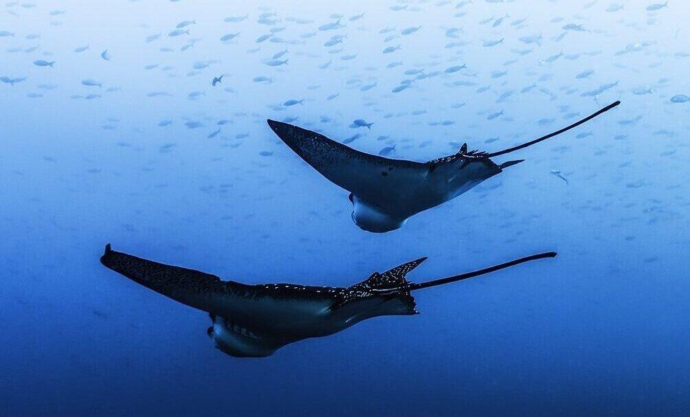 Djævlerokker under havoverfladen omkring Galapagos Øerne