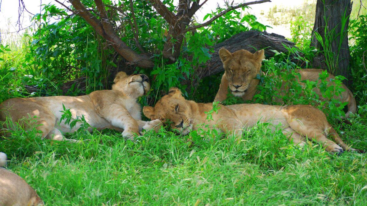 Safari i Botswana
