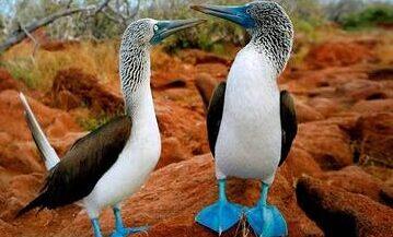 Se de sjældne blåfodet booby fugle på Galapagos Øerne med Silversea Expeditions holdet