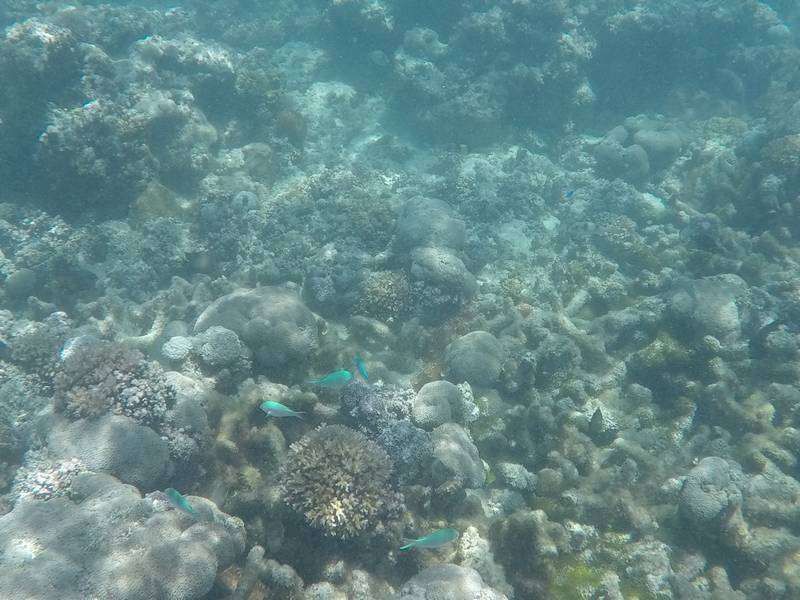 Snorkeling with Green Chromis