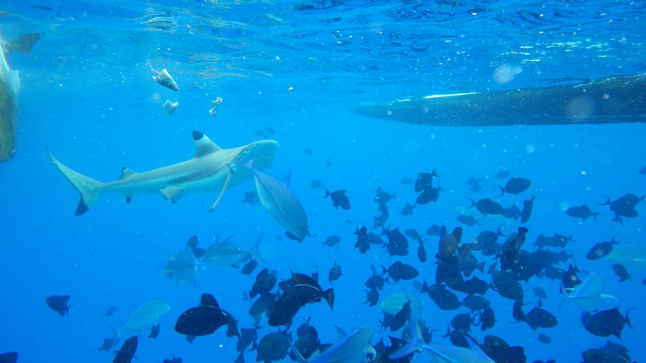 Snorkeling with the black tip reef sharks in the outer reef