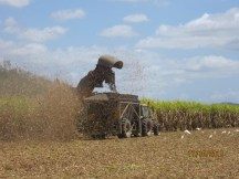 When we lived here they used to burn the cane before harvesting. See the chaff in the air.
