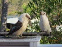 Plump kookaburras.