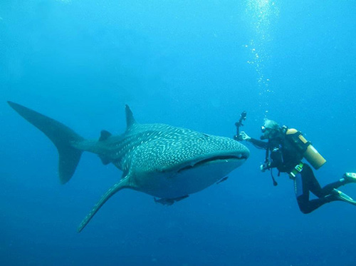 Where To Find Whale Sharks In Indonesia In 2020