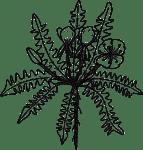 tansyleaved-evening-primrose