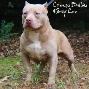 Swanky Sale Nwg Bullies Exotic Bullies Tri Color American