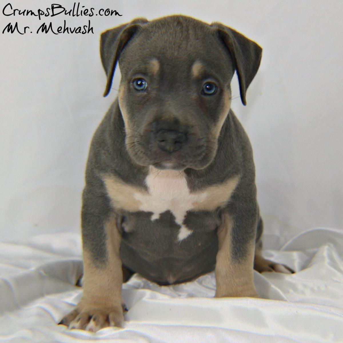 Xl Xxl Pitbull Puppies For Sale Crumps Bullies Xl Pit Bulls