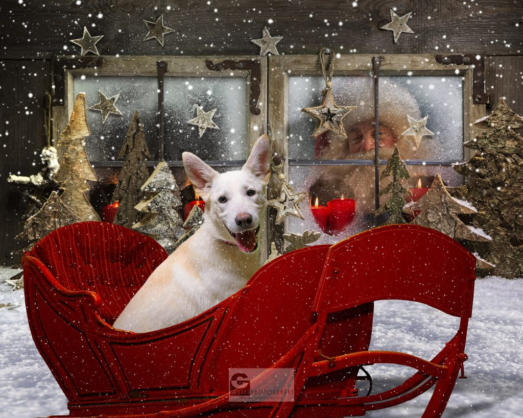 Donna sitting in Santa's sled, just waiting to be placed into her furever home!