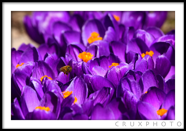 Bees and Crocus Blooms. Copyright Nate Young and Crux Photo.