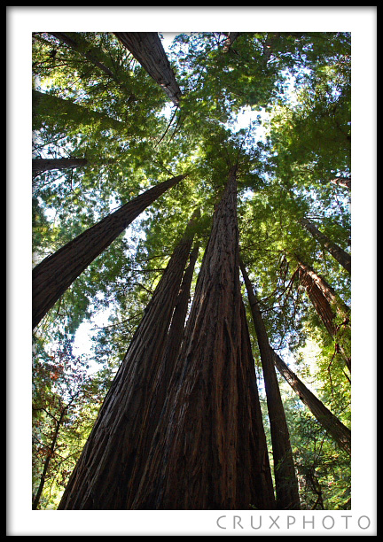 Redwood Trees in Muir Woods outside of San Francisco