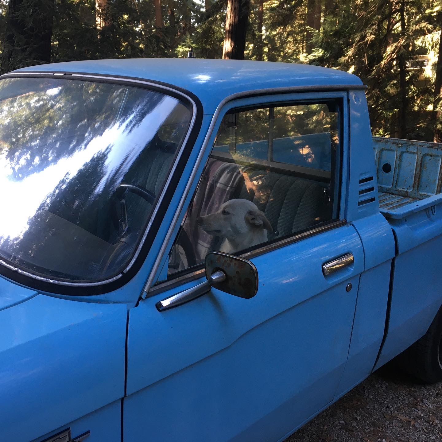 dog driving a blue pickup