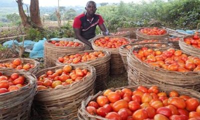 Tomato Jos Receives $1.2 Million Support From USAID-Crystal News