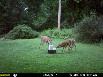 MAMA DEER WITH HER TRIPLETS.