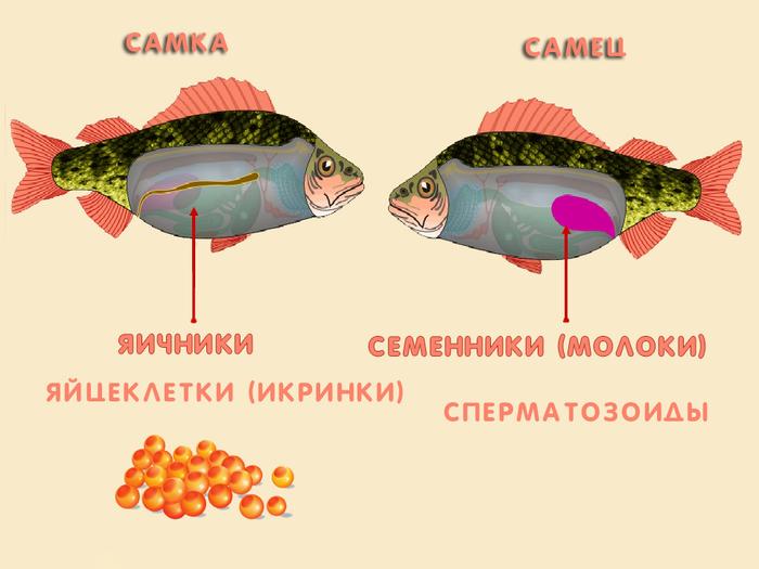 Балық тұқымы қалай? 1-бөлім. Penzy Dimorfism Penza Oceanarium, балық, көбею, бейне, ұзақ