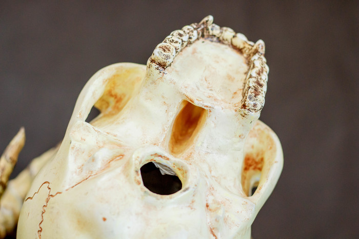 جمجمة شيطان بيدها من الورق. DIY الجمجمة، شيطان، الرغبة، Papier-Mâché، الحرف، تفعل ذلك بنفسك، الاكريليك، قرون، طويلة