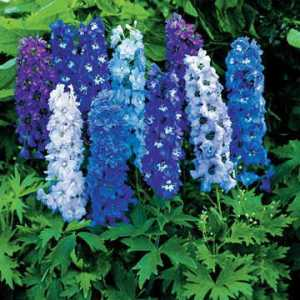 Delphinium (Mixed Blues)