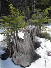A picturesque stump stands out in the snow.
