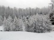 Snowy Tamaracks