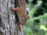 14-08-25 Squirrel by DuCharme