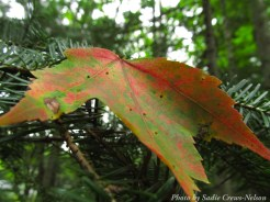 14-09-05 leaf by Crews-Nelson