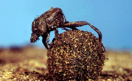 A member of the Dung beetle family.