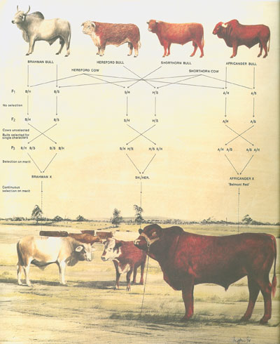 Drawing of various breeds of cattle